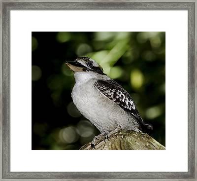 Laughing Kookaburra Framed Print by Mr Bennett Kent