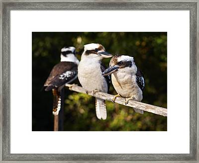 Laughing Kookaburras Framed Print by Odille Esmonde-Morgan