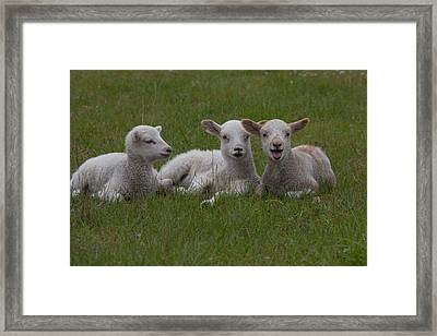 Laughing Lamb Framed Print by Richard Baker