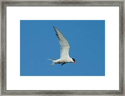 Laughing Tern Framed Print