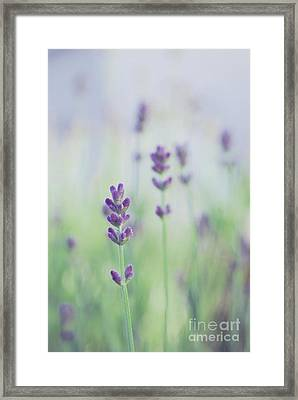 Lavandines - 117 Framed Print by Variance Collections