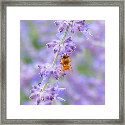 Lavendar Honey Bee Framed Print by Carol Toepke