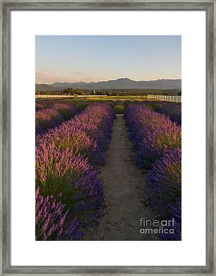 Lavendar Path Framed Print by Mike Dawson