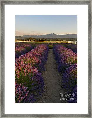 Lavendar Path Framed Print