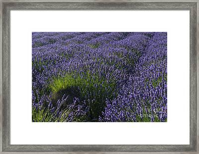 Lavendar Rows Framed Print by Mike Dawson