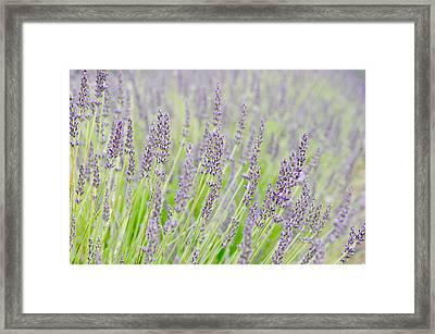 Lavender 1 Framed Print by Rob Huntley