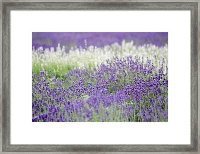 Lavender 4 Framed Print by Rob Huntley