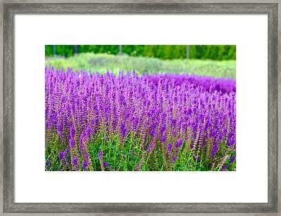 Lavender Framed Print by Allan Millora