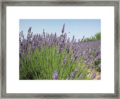 Lavender And The Bee Framed Print by Pema Hou