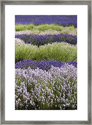 Lavender Bands Framed Print by Anne Gilbert