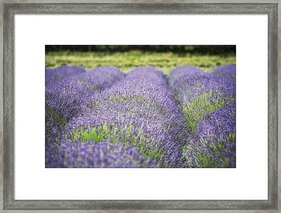 Lavender Blooms Framed Print by Vicki Jauron