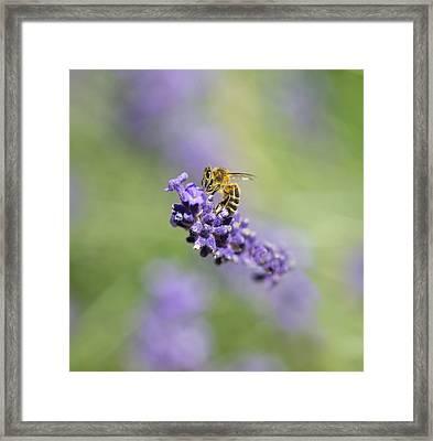 Lavender Buzz Framed Print
