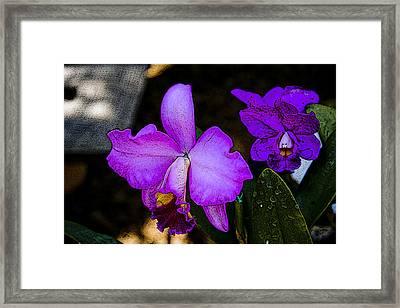 Lavender Catleya Orchid Framed Print