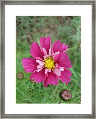 Lavender Cosmo Framed Print