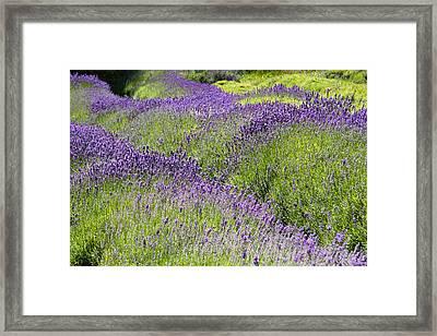 Lavender Day Framed Print by Kathy Bassett