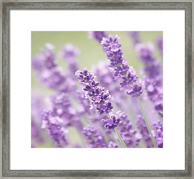 Lavender Dreams Framed Print by Kim Hojnacki