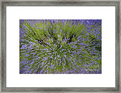 Lavender Explosion Framed Print by Tim Gainey