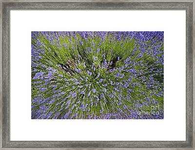 Lavender Explosion Framed Print by Tim Gainey