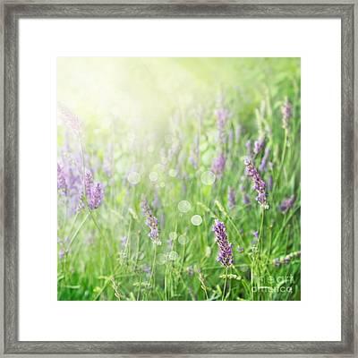 Lavender Field Background Framed Print by Mythja  Photography