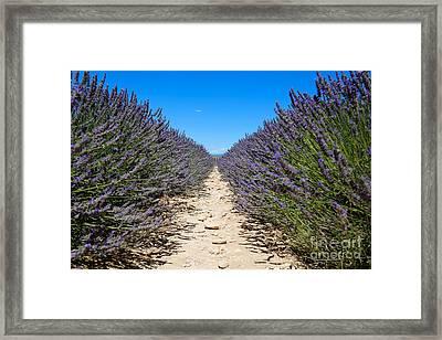 Lavender Field, France Framed Print by Adam Sylvester