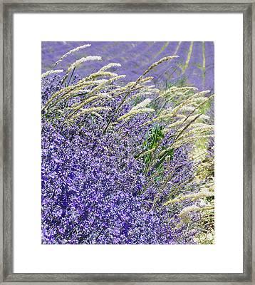 Lavender Field In Provence Framed Print