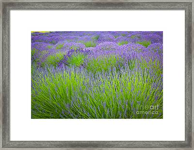 Lavender Field Framed Print by Inge Johnsson