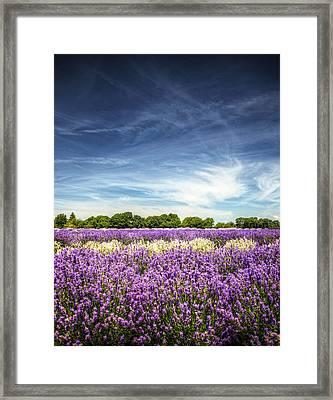 Lavender Fields Against Deep Blue Sky Framed Print