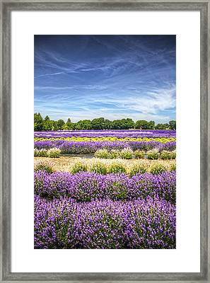 Lavender Fields At East Marion Framed Print by Vicki Jauron