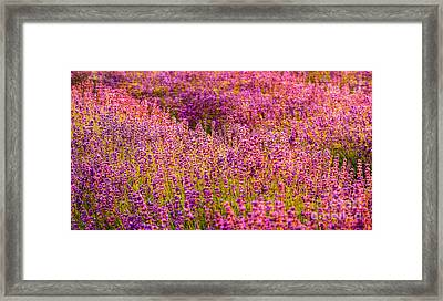Lavender Fields Framed Print by Courtney Trusty