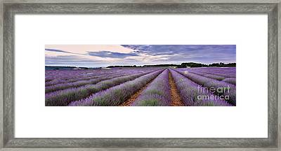 Lavender Fields Framed Print by Rod McLean