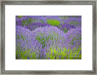 Lavender Flowers Framed Print by Inge Johnsson