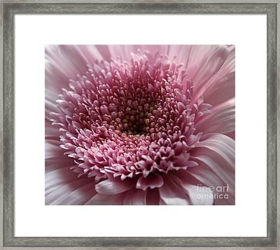 Lavender Gerbera Up Close Framed Print by Cathy Lindsey