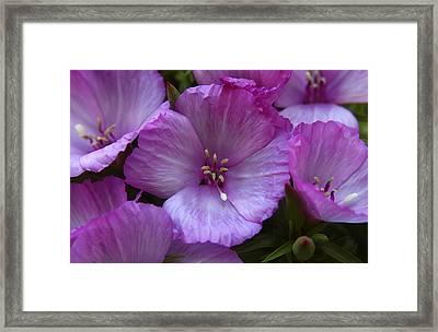 Lavender Godetia Flowers Framed Print by Carol Welsh