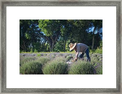 Lavender Harvest Framed Print by Mary Lee Dereske
