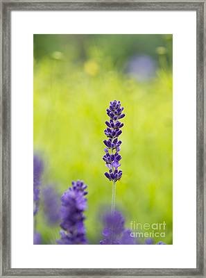 Lavender Hidcote Framed Print by Tim Gainey
