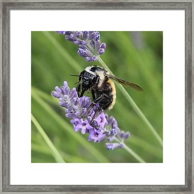 Lavender Honey Bee Framed Print by Mavis Reid Nugent