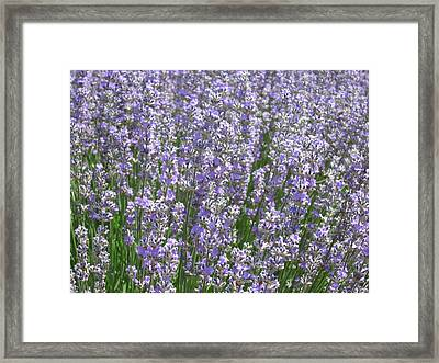 Framed Print featuring the photograph Lavender Hues by Pema Hou
