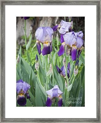 Lavender Iris Group Framed Print by Teresa Mucha