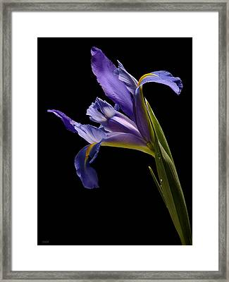 Lavender Iris Framed Print by Jeetindra Harripershad