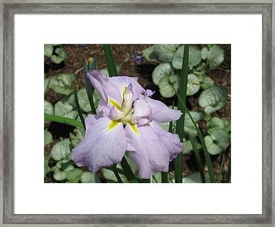 Lavender Iris Framed Print by Sarah Uman