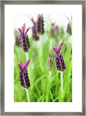 Lavender (lavandula Stoechas) Framed Print by Gustoimages/science Photo Library