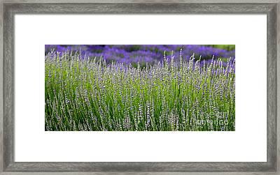 Lavender Layers Framed Print by Carol Groenen