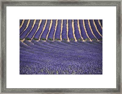 Lavender Lines Framed Print by Joachim G Pinkawa