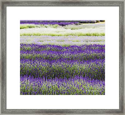 Lavender Lines  Framed Print by Tim Gainey