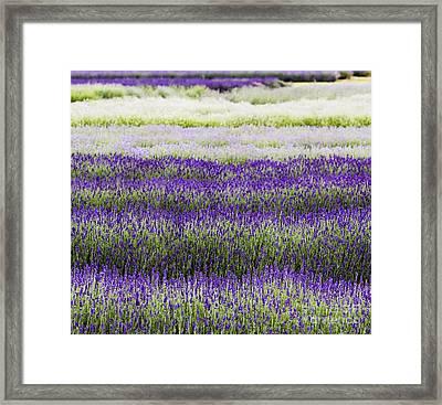 Lavender Lines  Framed Print