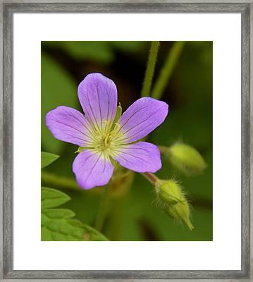 Lavender Passion Framed Print by Brett Erwood
