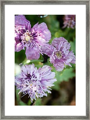 Lavender Peony Poppies Framed Print