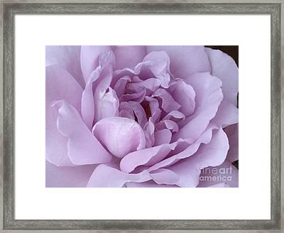 Lavender Rose Chaos Framed Print