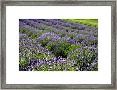 Lavender Rows Framed Print by Carol Groenen