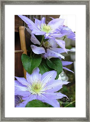 Framed Print featuring the photograph Lavender Star by Judy Palkimas